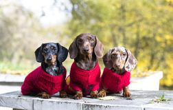 Dachshunds three dressed in red knitted sweaters stock images