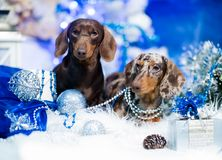 Dachshunds two dogs brown and marble color royalty free stock photography