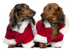 Dachshunds wearing Santa outfits Royalty Free Stock Photos