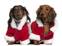 Dachshunds wearing Santa outfits Stock Images