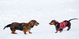 Dachshunds Winter Games. Two dachshunds play on a snow royalty free stock image