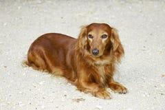 Dachsund Dog. Long Haired Dachsund Dog stock photography