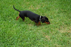Dachsund Outside. Dachsund following after a scent trail in the field Stock Photography