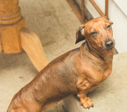 Dachsund standing on a step outside Royalty Free Stock Photo