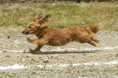 Dachsund stretching out in the race. Royalty Free Stock Photos