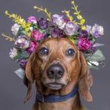 Dachsundhund i en blommakrona arkivfoto