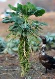 Dack mit Kohlpflanzen Lizenzfreies Stockfoto