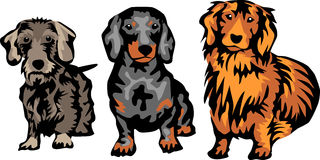 Dackel. Dachshund breeds - three color illustration Royalty Free Stock Photography