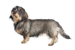 Dackel whole body isolated. A small wire-haired Dachshund isolated against white background Stock Images
