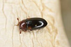Dacne bipustulata (Erotylidae) Stock Images