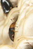 Dacne bipustulata (Erotylidae) Royalty Free Stock Image