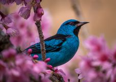 Dacnis azules en un cerezo Foto de archivo libre de regalías