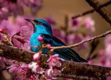 Dacnis azules en un cerezo Fotografía de archivo