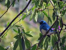Dacnis cayana. It measures approximately 13 centimeters in length and weighs, on average, 16 grams. Has a pronounced sexual dimorphism Royalty Free Stock Images