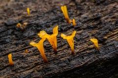Dacryopinax Spathularia желто Стоковая Фотография