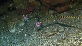 Dactyliophorus legato di Dunckerocampus del pipefish nello stretto di Lembeh video d archivio
