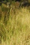 Dactylis glomerata,变态反应原厂 库存照片