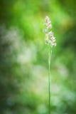 Dactylis glomerata Stock Images
