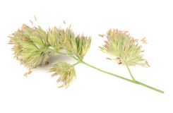 Dactylis Glomerata (Cocks-Foot) Isolated on White Background Stock Photo