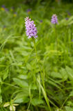 Dactylorhiza fuchsii. Common spotted orchid plant. Purple blossom. Beautiful flower blooming in a natural environment Stock Images