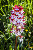 Dactylorhiza Incarnata Royalty Free Stock Photo