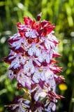 Dactylorhiza Incarnata Royalty Free Stock Image