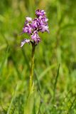 Dactylorhiza majalis Royalty Free Stock Images