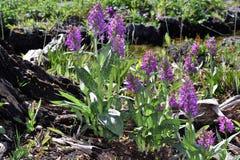Dactylorhiza majalis Royalty Free Stock Photos