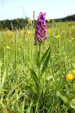 Dactylorhiza majalis Stock Photography