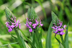 Dactylorhiza majalis is a terrestrial Eurasian orchid Stock Photo
