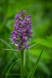 Dactylorhiza majalis, western marsh orchid Royalty Free Stock Images