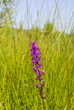 Dactylorhiza majalis (Westsumpforchidee, breitblättrige Sumpforchidee, Fanorchidee, gemeine Sumpforchidee, irische Sumpf-Orchidee lizenzfreie stockbilder
