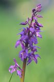 Dactylorhiza orchid Royalty Free Stock Photography