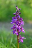 Dactylorhiza orchid Stock Photo