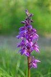 Dactylorhiza orchid Stock Photo