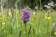 Dactylorhizaincarnata in bloei, Italiaanse alpiene orchidee royalty-vrije stock afbeelding