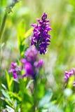 Dactylorhizamajalis - westelijke moerasorchidee, breedbladige moerasorchidee, ventilatororchidee, gemeenschappelijke moerasorchid Stock Afbeelding