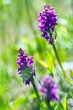 Dactylorhizamajalis - westelijke moerasorchidee, breedbladige moerasorchidee, ventilatororchidee, gemeenschappelijke moerasorchid Royalty-vrije Stock Fotografie