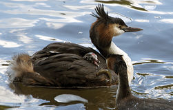 Dad I've dropped it. Great Crested Grebe's with Chick being fed Stock Photography