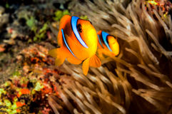 Dad and Mam Clownfish. A pair of clownfish defending his anemone Stock Photo