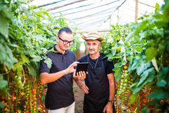 Dad and son ckecking orders of cherry tomato online on tablet fr Royalty Free Stock Photo
