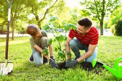 Dad and son planting tree together in park. On sunny day stock images