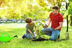 Dad and son planting tree together in park on sunny day. Space for text royalty free stock photo