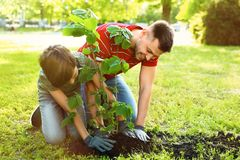 Dad and son planting tree together in park. Space for text. Dad and son planting tree together in park on sunny day. Space for text royalty free stock image