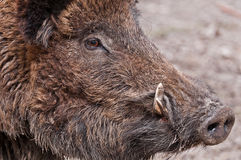 Daddy Boar passing by Royalty Free Stock Images