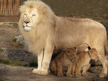Daddy lion and his two babies Stock Photos