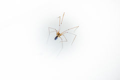 Daddy long leg spider - Pholcus phalangioides Royalty Free Stock Images