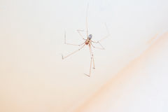 Daddy long leg spider - Pholcus phalangioides Stock Photography