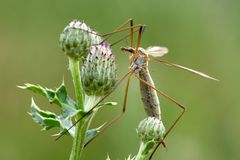 Daddy long legs. A daddy long legs, sitting on clover royalty free stock photo
