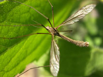 Daddy Long Legs 8 Royalty Free Stock Photography